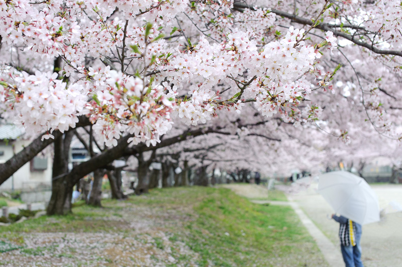 桜の咲く頃限定の撮影プランのご案内【終了しました】